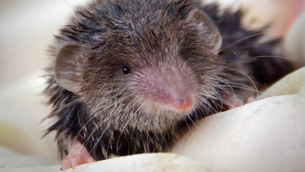 The greater white-toothed shrew is on course to be in every corner of Ireland by 2050 if it can cross the natural barrier, The River Shannon, environmental experts say
