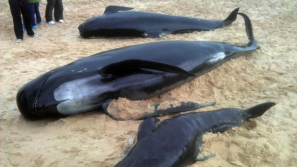 Three of the whales stranded on a beach off Donegal