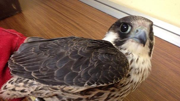 A young peregrine falcon had to be put down after being found shot (Department of Arts, Heritage and the Gaeltacht/PA)