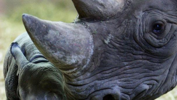 Irishman Patrick Sheridan has been jailed for a year after pleading guilty in Texas to trafficking horns from the endangered black rhinoceros
