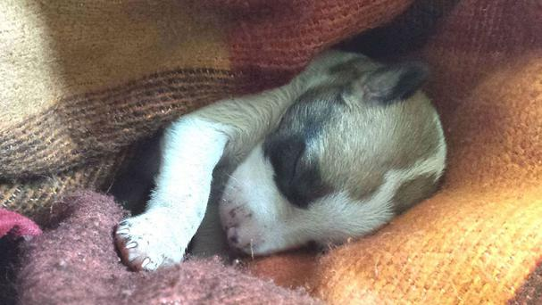 Newborn puppy Autumn, who was rescued by an older dog (DSPCA/PA)