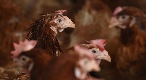 Health chiefs said it is no longer a legal requirement to confine poultry and other birds under the emergency measures against avian influenza