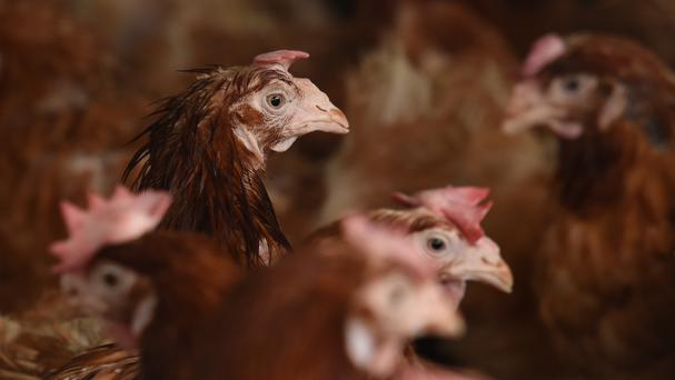 Chickens were domesticated from Asian jungle fowl around 6,000 years ago. Stock picture
