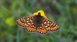 The marsh fritillary was recorded in the last week on Turraun Bog in west Offaly