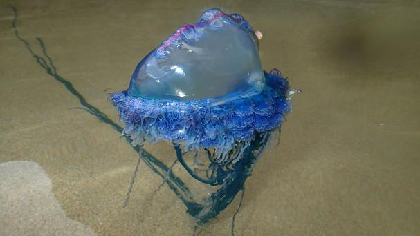 A Portuguese man o' war sting can be deadly