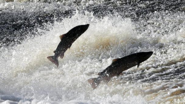 The scales and fins of more than 30 salmon recovered from rivers are being examined and a report compiled