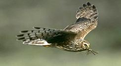 The project aims to improve habitat for hen harriers (RSPB/PA)