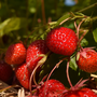The crisis meant tonnes of strawberries were dumped or went to waste. Stock image