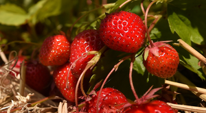 'Farmers were forced to dump tonnes of strawberries and prices plunged as foreign and local demand plummeted and health authorities issued warnings.' Stock image