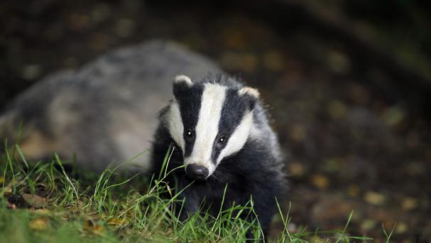 Badger vaccinations will be very important in eradicating TB, says professor (Ben Birchall/PA)