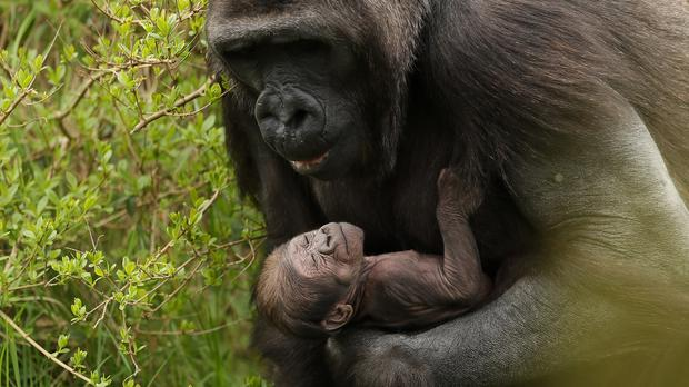 A new baby western lowland gorilla in the arms of her mother Kafi on their island enclosure in Dublin Zoo (Brian Lawless/PA)
