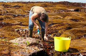 WORTH ITS SALT: Fewer than 10 firms are involved in seaweed harvesting in the west of Ireland