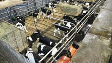 Calves in their age groups should be kept segregated