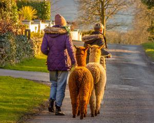 Alpacas with some of the MacDonnell family at Hushabye Farm. Photo: Brian Sheridan