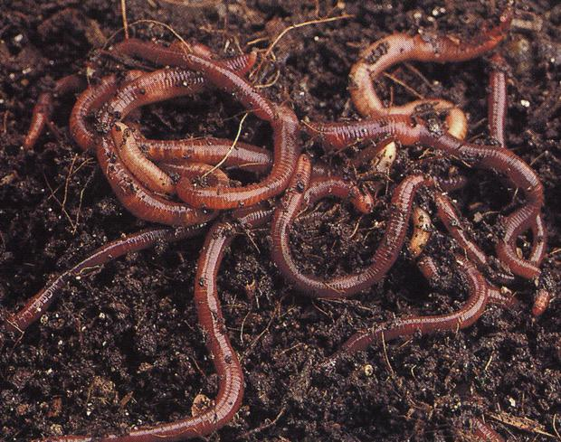 Worms process the slurry