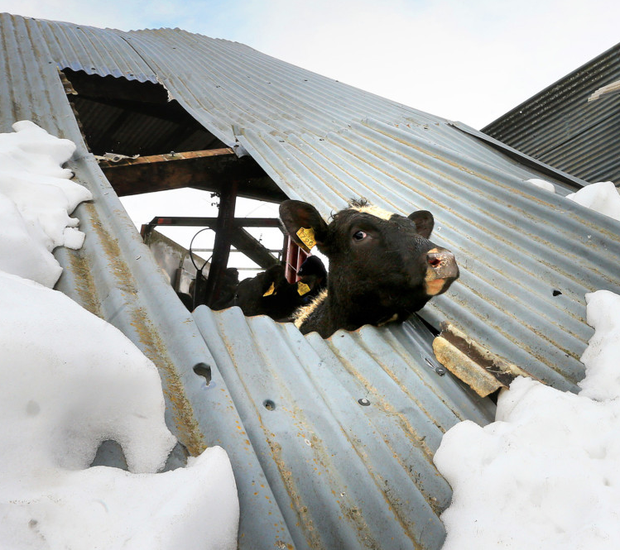 A cow looks out from a destroyed barn on Karl Winters' farm in Taghmon, Co Wexford, following destruction caused by Storm Emma Photo: Gerry Mooney