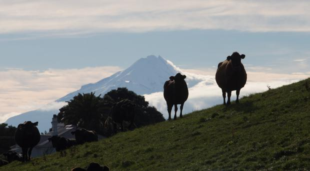 Outstanding in its field: Cows stand on a hill at a dairy farm that supplies milk to Fonterra Cooperative Group as Mount Taranaki stands in the distance in Hawera, New Zealand. Fonterra is the world's top dairy exporter. Photo: Bloomberg