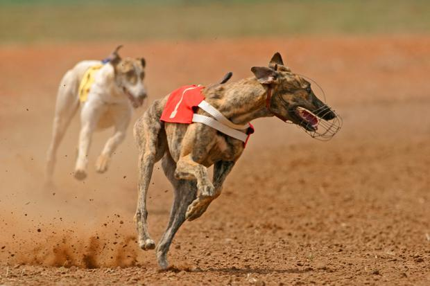 Trained by Phil Gough, Spoofer flew to the bend in the third heat and ran out a convincing six-length winner. Stock image