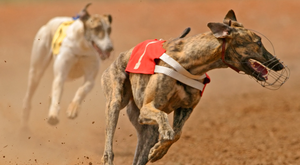 The race of the night can be the second heat of the Gain Christmas Oaks where Robert Gleeson's Droopys Saga (9.27) gets a confident vote to get the better of Ballymac Trinkle and Vahsel Bay (stock picture)