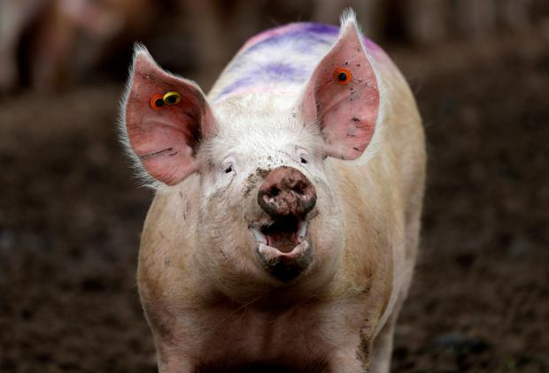 On the pig's back?: Some British politicians are divided on how best to deal with food imports, such as pork, after Brexit. Photo: Reuters