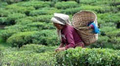 To a tea: A woman picks tea in Darjeeling – geographical indication labels can be used to show where products are from