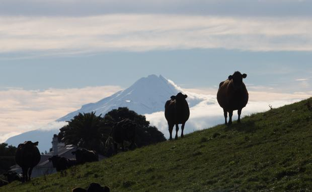 Cows stand on a hill at a dairy farm in Hawera, New Zealand, that supplies milk to Fonterra. Photo: Bloomberg