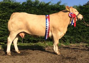 Glory days: Ballinascraw Glory, a Blonde d'Aquitaine cow that has earned many show honours, including the breed championship at the National Show in Tullamore in 2012, 2013 and 2015