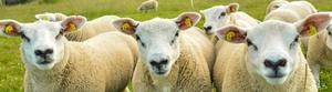 The full set: A full EID tag set comprises one yellow electronic tag inserted in the sheep's right ear and a corresponding yellow conventional tag, with the same unique ID number, in the animal's left ear
