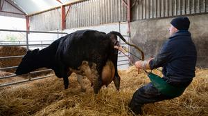 Jim Ryan using his Calving Assist device to assist in the birth of a calf. The device uses a girth and two levers to allow bodyweight, rather than the shoulders and lower back, do the hard work when farmers are pulling calves. PHOTOS: John D Kelly
