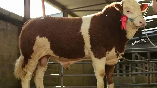 Towerhill Happy Harry, bred by Seamus Ahearne, Cappamore, Co Limerick and sold for €8,000 at the Simmental Premier Show and Sale