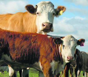 The new scheme is designed to reward 'quality' and replace the Suckler Cow Welfare Scheme