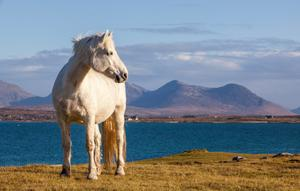 The Connemara pony is turning Japanese — on an island  in the Oriental country.