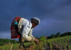 A farmer plants saplings in a paddy field on the outskirts of Agartala city in India last week. India is to buy oilseeds and pulses directly from farmers for the first time this year, in addition to its existing purchases of wheat and rice, to boost production and close a supply gap that has driven its annual import bill up to $12 billion. REUTERS/Jayanta Dey
