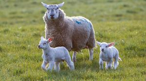 Nematodirus is the biggest health risk to lambs as spring gives way to summer