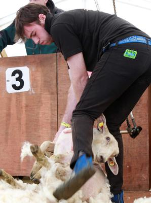 Thomas Halloran takes part in the Sheep Shearing contest at the National Ploughing Championships. Photo: Conor Healy
