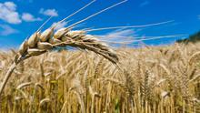 The prices paid depend on the yield potential and the quality of the crops