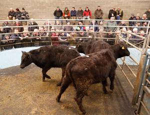 These three Limousin cross bullocks with an average weight of 468kg sold for €1,080 each at Roscrea Mart. Photo: Liam Burke/Press 22