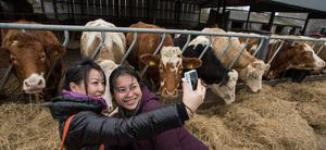 """Eleena Cheah Soo Sen from Singapore and Jean Yuk Jin Wan from China attempt a """"selfie"""" with the livestock on Stephen Morrison's farm in Kill, Co Kildare. Photo: Michael O'Rourke"""