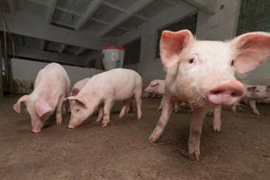 A team of Chinese researchers looked at influenza viruses found in pigs from 2011 to 2018.