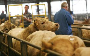 Edge: The continued presence of Northern buyers at the marts is boosting prices for heavy stock