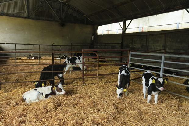 Bedding and ventilation: Newly arrived calves should be quarantined in a shed with a high roof and plenty of straw.
