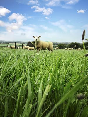 Lambs and ewes grazing multi-species sward at UCD Lyons Farm