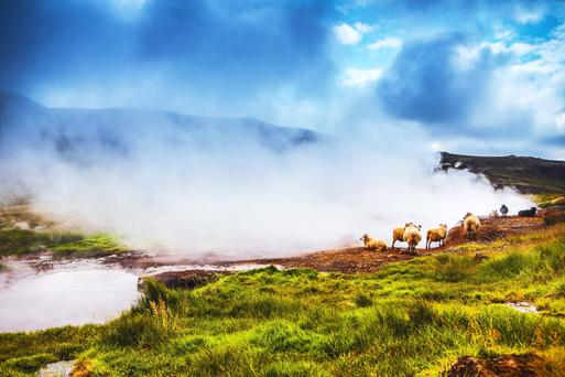 Rugged landscape: Sheep grazing in an Icelandic meadow beside a geothermal spring
