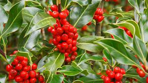 "The site of a holly ""farm"" should be away from the roadside as theft can be a problem at Christmas time"