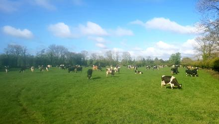 Good news: Peter Hynes's herd has been given the TB all-clear
