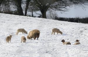 Spring lambs and their Mothers get used to snowy conditions as heavy snowfall hit the Cavan area on Monday morning Photo: Lorraine Teevan