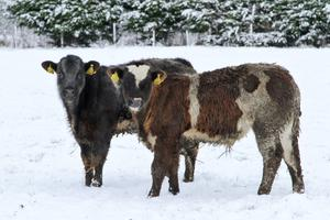 Hardy bucks: Four-month-old bull calves out in the snow last week on the Talbot farm in Ballacolla, Co. Laois