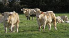 Yearling bulls Penrose 07 Johnjoe and Penrose 07 Johnson, both by David's stockbull Blakestown Gladiator, by Blakestown Artiste, who will be sold for breeding, in the foreground with freshly calved cows who are out to grass by day behind
