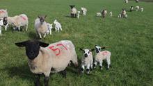 Ensuring all lambs have the correct fat cover will be essential.