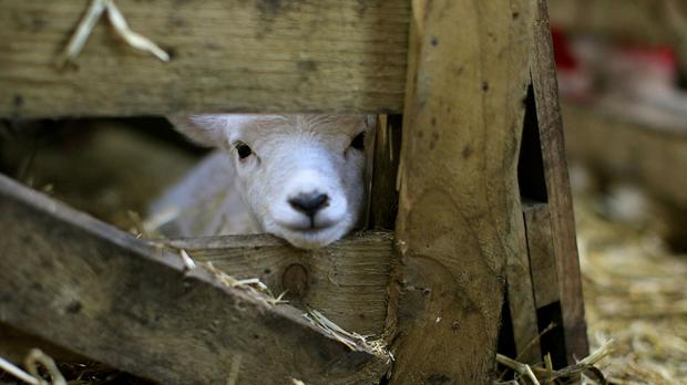 A lamb born in North Antrim (Julien Behal/PA)